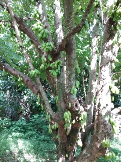 Bilimbi Tree